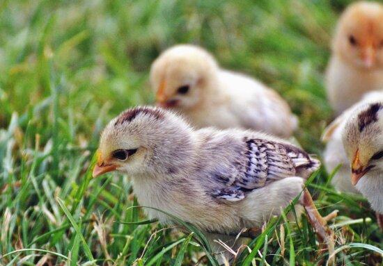 chicken, grass, bird, beak, animal
