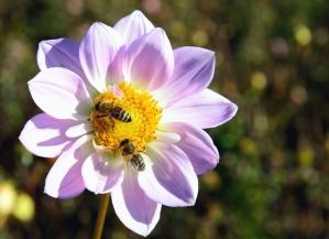 Flor, pétalo, abejas, polen, polinización, tallos, naturaleza, planta