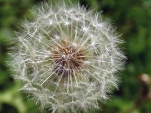 dandelion, seed, plant, macro, meadow