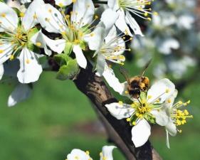 Abeja, árbol, flor, pétalo, polinización, árbol, planta