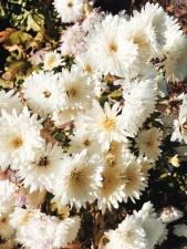 λευκό, λουλούδι, φυτό, φύση, κήπο