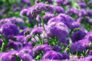 purple, flower, plant, stems, meadow, blossom, nature