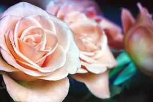 バラ、花束、花、花弁、植物、庭、マクロ