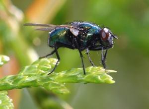 mosca, asa, inseto, olhos, folha, planta, natureza