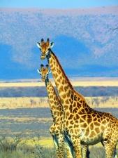 Jirafa, animal, África, montaña, naturaleza, hierba