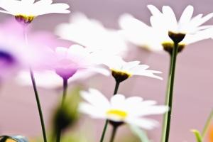 Marguerite, fleur, plante, pétale, pollen, nature