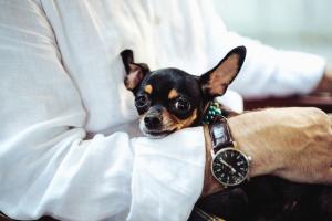 armbåndsur, hunden, pet, dyr, mann, skjorte, hånd