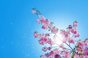 petal, flower, branch, treetop, Sun, sky