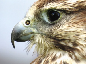 beak, falcon, feather, bird, eyes, animal