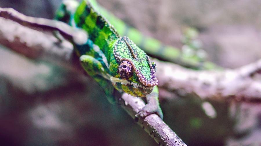 lizard, camouflage, tree, animal, reptile, green