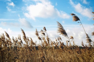 reeds, stems, sky, cloud, nature, plant, dry
