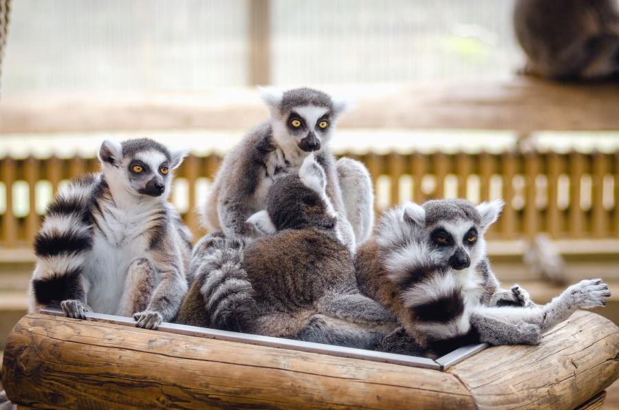 Lemur, strom, zvíře, srsti, oplocení