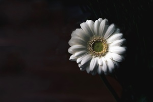 daisy, photo studio, flower, petal, stamens, pollen, stem, white
