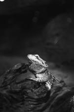 lizard, reptile, wood, animal