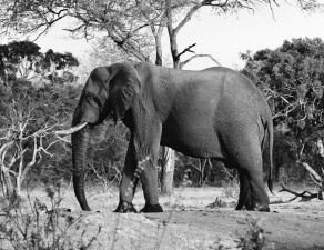 olifant, boomstam, hout, natuur