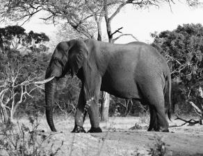 Elefanten, Baumstamm, Holz, Natur