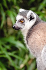 lemur, animal, fur, plant, nature, forest