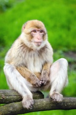 monkey, animals, wildlife, wood, grass, nature