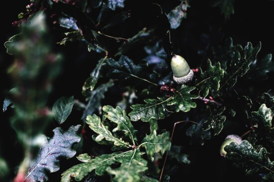 acorn, oak, leaf, tree, forest, plant