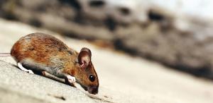 Ratón, animal, piel, roedor