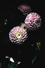 hortenzija, cvijet, cvijet, latica, biljka, list
