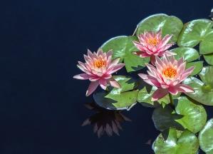 Lotus blomst vannlilje, kronblad, anlegg, refleksjon, vann