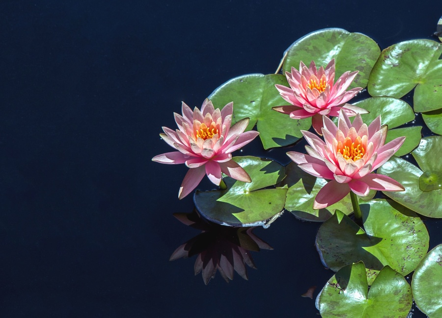 lotus, flower, water lily, petal, plant, reflection, water