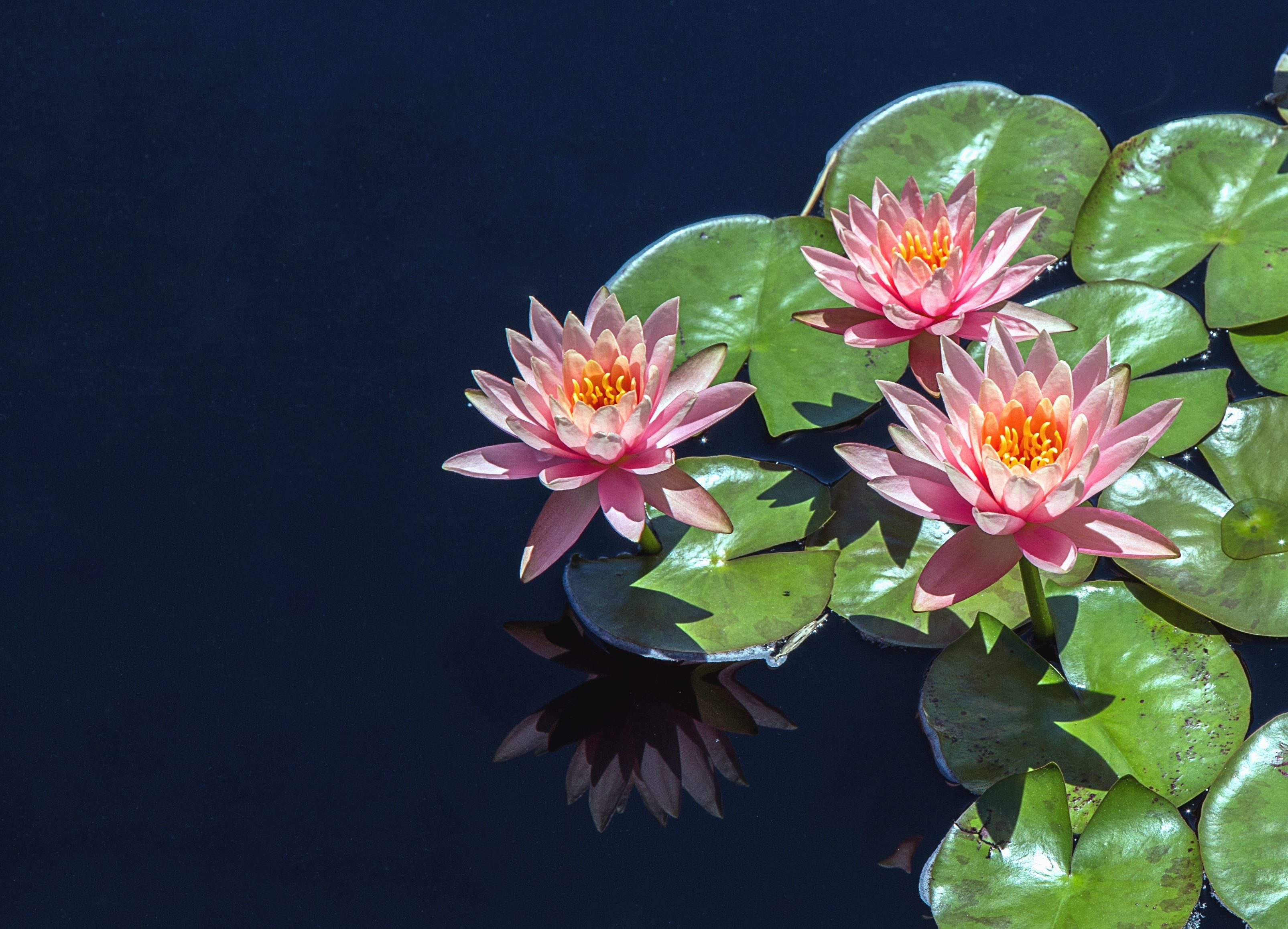 Free picture lotus flower water lily petal plant reflection water lotus flower water lily petal plant reflection water izmirmasajfo