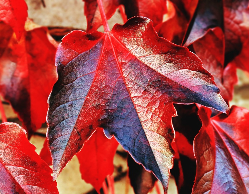 leaf, autumn, plant, red, black, texture