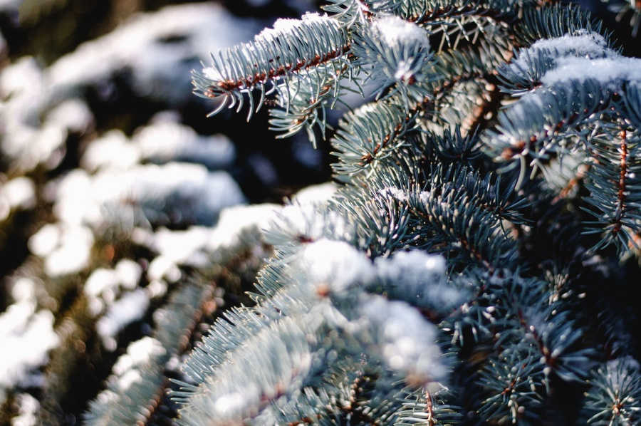 fir, winter, cold, forest, branch, snow