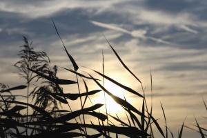 Cañas, hoja, tallos, sol, cielo, planta