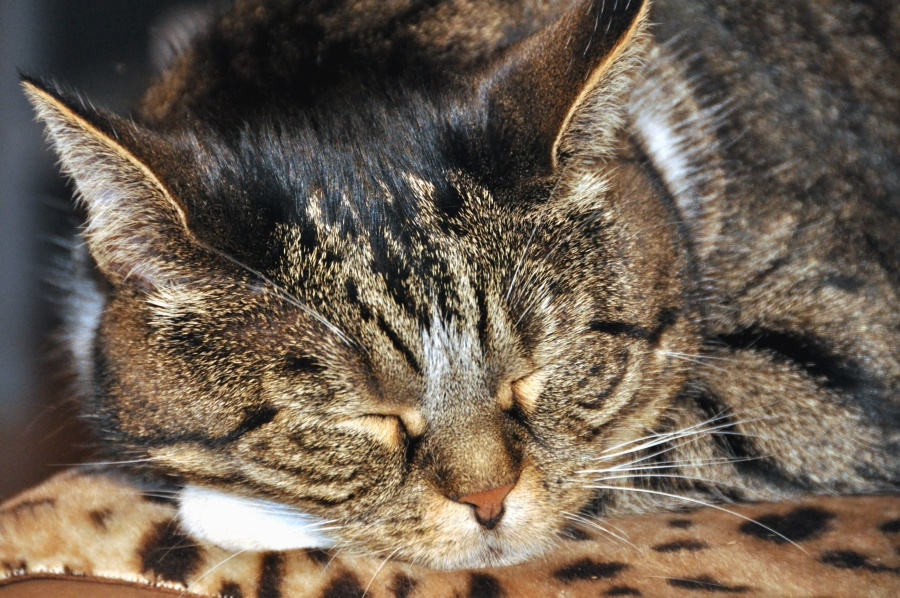 Katze, Pelz, Haustiere, Haustier, Whiskers, Kopf