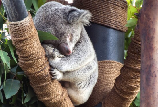 Koala, madera, cuerda, animales, hoja