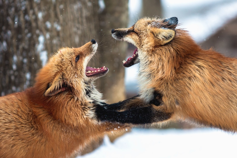 Renard, fourrure, forêt, neige, animal sauvage, froid, hiver