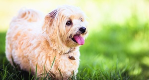 dog, pet, domestic animal, fur, grass, cheerful