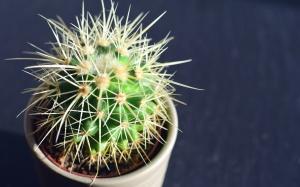 Kaktus, tanaman, pot bunga, duri, bunga