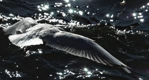Oiseau, plume, voler, eau, réflexion, vague, animal