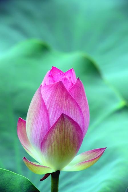 water lily, flower, petal, plant, lotus, stem, spring