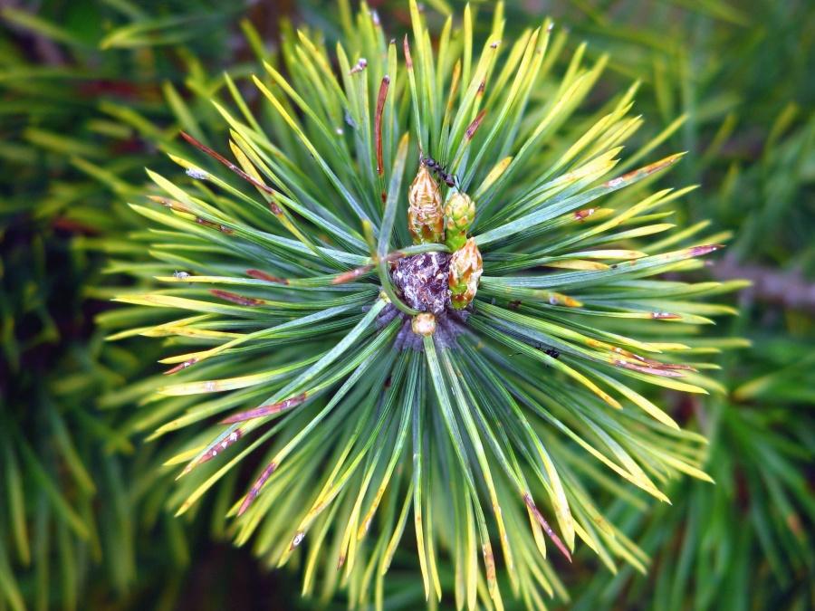 fir, tree, branch, plant