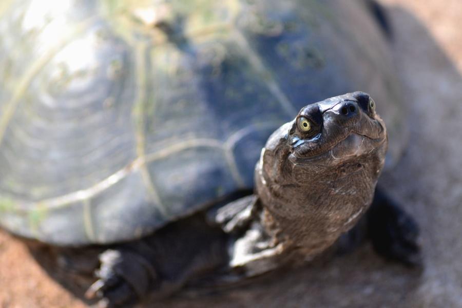 korytnačka, hlavy, brnenie, zviera, oči