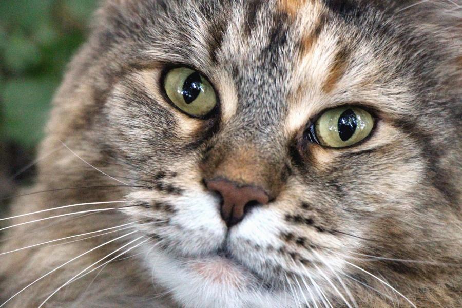 кішка тварина кошеня, хутро, ПЕТ, милий, побутових, вуса