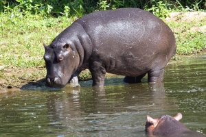 hippopotamus, animal, water, river, grass
