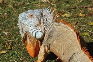 jašterica, iguana, príroda, tráva, zvieratá