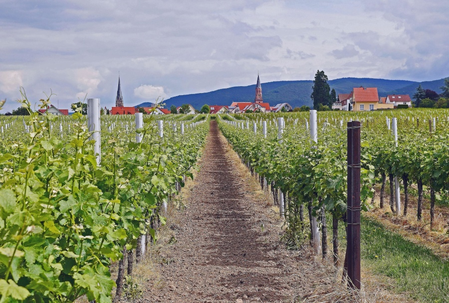 summer, grass, grapes, agriculture, village, fruit, plant
