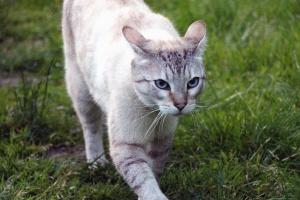 Gatto, animale, pelliccia, animale domestico, gatto domestico, baffi, animale domestico