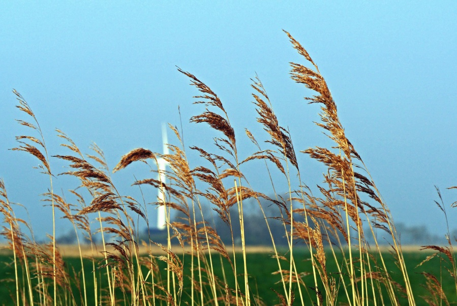 reed, grass, field, meadow, plant, sky, field, agriculture