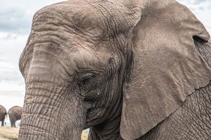 elephant, Africa, animal, wildlife, ears, skin
