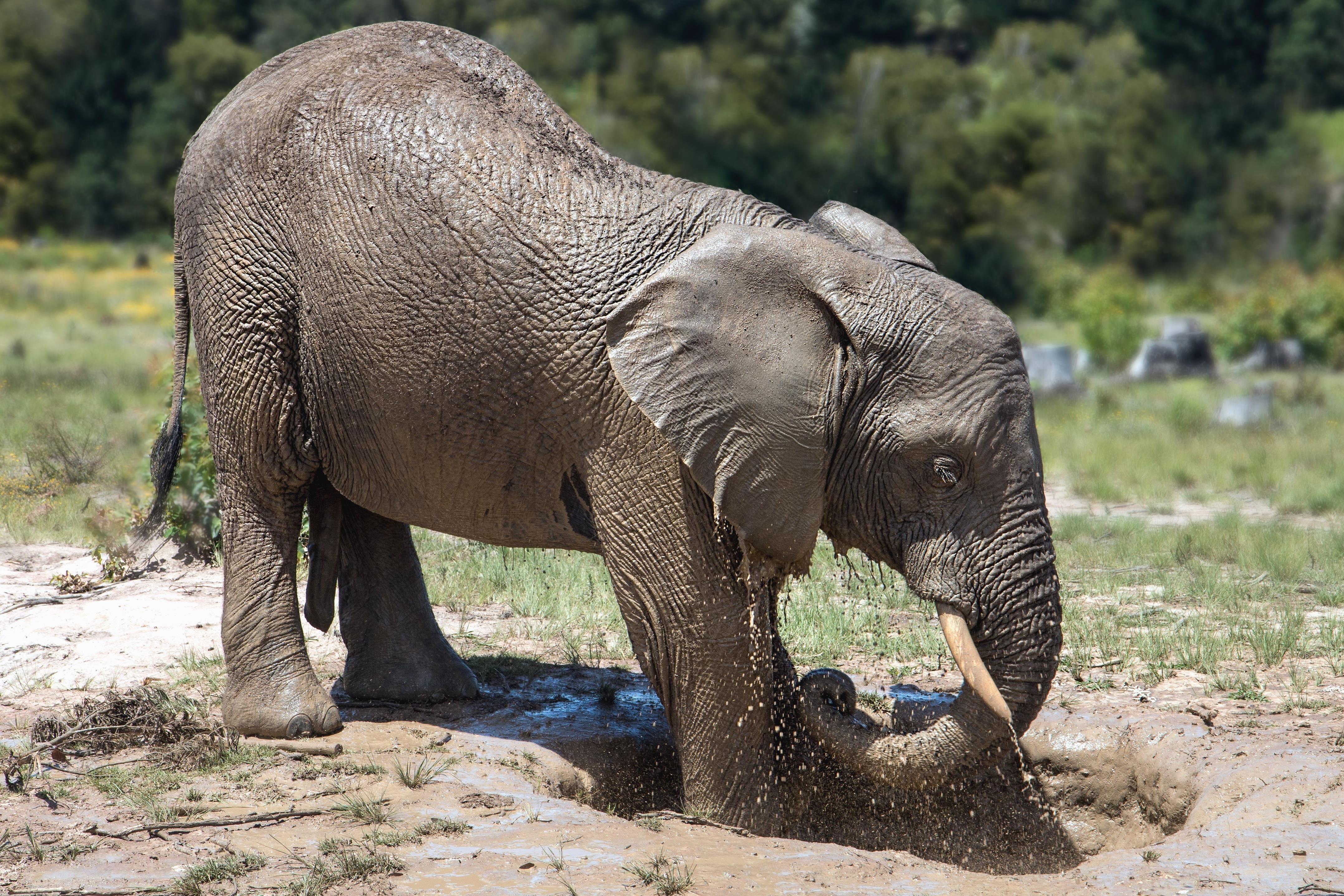Free picture: elephant, Africa, animal, safari, wildlife