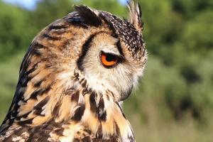 πουλιών, ζώων, φτερό, κουκουβάγια, αρπακτικό