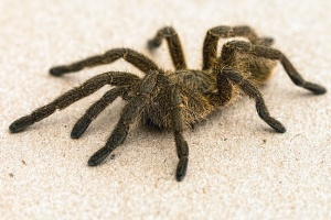 spider, tarantula, arthropod, invertebrate